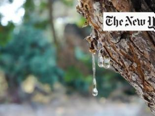Φωτογραφία για Αφιέρωμα Νew York Times στη μαστίχα Χίου: Μπορεί να θεραπεύσει την ανθρωπότητα;