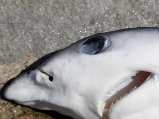 Φωτογραφία για Μικρός καρχαρίας εντοπίστηκε στο λιμάνι