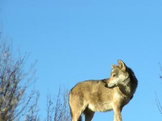 Φωτογραφία για Μελέτη αποκαλύπτει ότι οι λύκοι της Πάρνηθας εξελίσσονται σε απειλή για τους πληθυσμούς ελαφιών