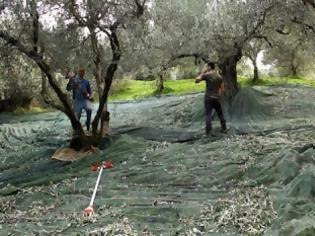 Φωτογραφία για Γιατί σε λίγα χρόνια δεν θα έχουμε ελιές στην Ελλάδα