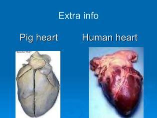 Φωτογραφία για Η μεταμόσχευση καρδιάς χοίρου σε καρδιά ανθρώπου θα είναι δυνατή εντός τριετίας