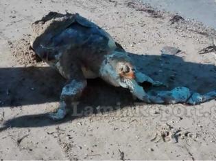 Φωτογραφία για Νεκρή χελώνα καρέτα – καρέτα στην παραλία του Σχοινιά