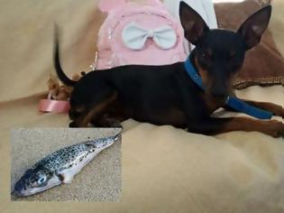 Φωτογραφία για Δείτε τι έπαθε ο σκύλος που έφαγε λαγοκέφαλους – «Σώθηκε από καθαρή τύχη»!