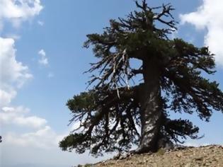 Φωτογραφία για Στην Πίνδο το γηραιότερο δέντρο της Ευρώπης