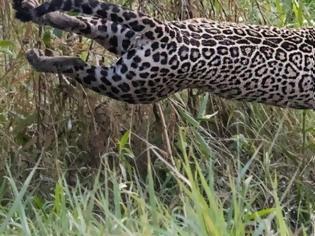 Φωτογραφία για Η τρομακτική επίθεση ενός ιαγουάρου σε κροκόδειλο και η μάχη που ακολούθησε (vid)
