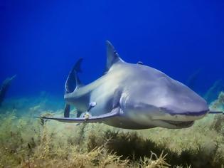 Φωτογραφία για Λευκός καρχαρίας βρίσκει το γεύμα του και η θάλασσα γίνεται κόκκινη (vid)