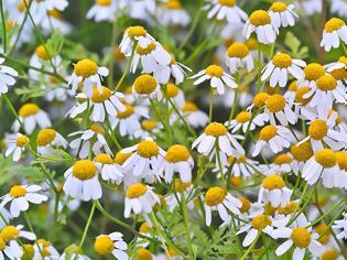 Φωτογραφία για Το λουλούδι που μπορεί να νικήσει τον καρκίνο