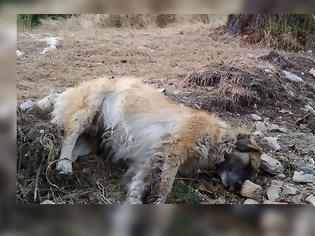 Φωτογραφία για Πρωτοφανής η υπόθεση με τις φόλες στη Φλώρινα: Τουλάχιστον 50 σκυλιά νεκρά!