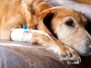 Φωτογραφία για Το Ιρμάκι έφυγε από καρκίνο. Ο καρκίνος απειλεί και τα ζωάκια μας. Ποια τα σημάδια