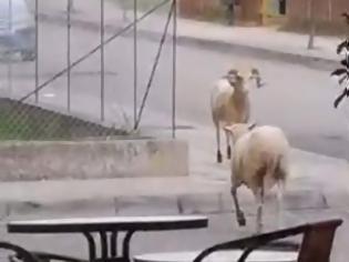 Φωτογραφία για ΑΓΡΙΝΙΟ: Ποια πρόβατα; Εδώ κριάρια μονομαχούν σε κεντρικό δρόμο! (video)