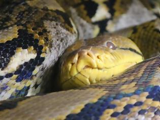 Φωτογραφία για Βρέθηκε νεκρή με έναν πύθωνα γύρω από τον λαιμό της ανάμεσα σε 140 φίδια