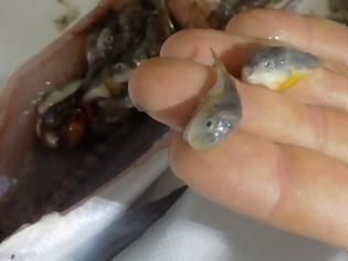 Φωτογραφία για Καθάριζε ψάρι και βρήκε μέσα του δεκάδες λαγοκέφαλους