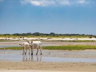 Φωτογραφία για Τρεις αγελάδες που παρασύρθηκαν από τον τυφώνα Ντόριαν βρέθηκαν ζωντανές