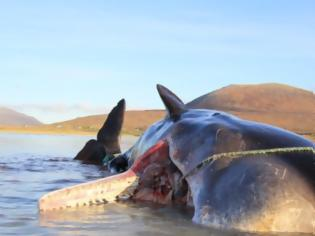 Φωτογραφία για Νεκρή φάλαινα με 100 κιλά σκουπίδια στο στομάχι της
