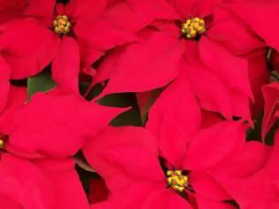 Φωτογραφία για Χριστουγεννιάτικα Φυτά για να στολίσετε ή για να κάνετε δώρο
