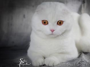 Φωτογραφία για Σκότις Φόλντ: Η γάτα που δεν μοιάζει με καμιά άλλη