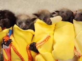 Φωτογραφία για Αυστραλία: Χιλιάδες μωρά νυχτερίδων λιμοκτονούν εξαιτίας των δασικών πυρκαγιών