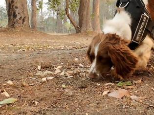 Φωτογραφία για Αυστραλία: Τέιλορ, το σπάνιελ που σώζει τα τραυματισμένα κοάλα από την πυρκαγιά (βίντεο)