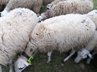Φωτογραφία για Κρήτη: Ένα πρόβατο με...GPS έδειξε τους ζωοκλέφτες!