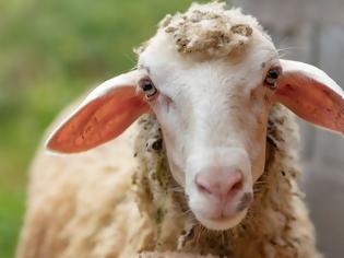 Φωτογραφία για Πρόβατο με GPS οδήγησε στη σύλληψη ζωοκλεφτών στην Κρήτη