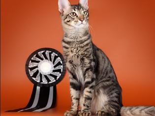 Φωτογραφία για Γάτα Αγκύρας: Παιχνιδιάρα και τρυφερή, ιδανική για παιδιά και ηλικιωμένους