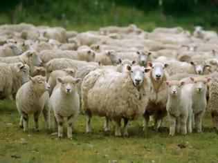 Φωτογραφία για Ενα πρόβατο με GPS στην κουδούνα πρόδωσε τους ζωοκλέφτες
