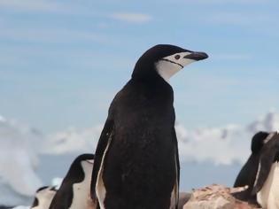 Φωτογραφία για Δραματική μείωση των πιγκουίνων του είδους Πυγοσκελίς της Ανταρκτικής διαπίστωσαν επιστήμονες