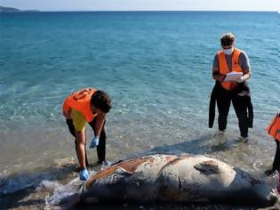 Φωτογραφία για Επτά νεκρές Μεσογειακές φώκιες εντοπίστηκαν στο Αιγαίο
