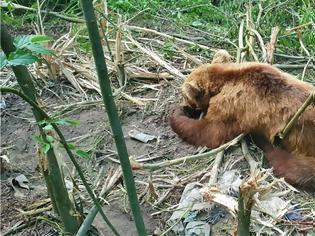 Φωτογραφία για Κοζάνη: Έσωσαν αρκούδα που πιάστηκε σε παγίδα για αγριογούρουνα ΒΙΝΤΕΟ