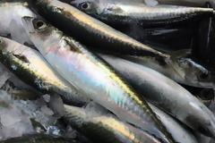 Κολιός, ψάρι πλούσιο σε ωμέγα-3 λιπαρά οξέα. Διαφορές από το σκουμπρί. ΠΟΤΕ τον Αύγουστο!