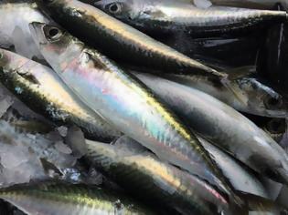 Φωτογραφία για Κολιός, ψάρι πλούσιο σε ωμέγα-3 λιπαρά οξέα. Διαφορές από το σκουμπρί. ΠΟΤΕ τον Αύγουστο!