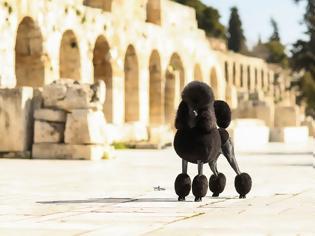 Φωτογραφία για Standard Poodle: Ο έξυπνος και αθλητικός «Λόρδος» που δένεται με τα παιδιά