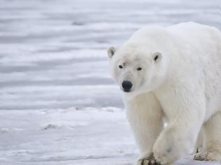 Φωτογραφία για Κινδυνεύουν με εξαφάνιση οι πολικές αρκούδες