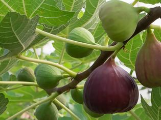 Φωτογραφία για Το «βασιλικό» φρούτο που ρίχνει την αρτηριακή πίεση