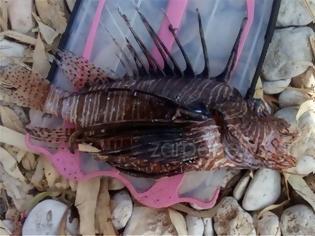 Φωτογραφία για ΒΙΝΤΕΟ..Λεοντόψαρο: Το δηλητηριώδες ψάρι στα ελληνικά νερά