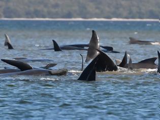 Φωτογραφία για Μάχη για τη διάσωση δεκάδων φαλαινών που έχουν εξωκείλει στην Τασμανία - Απίστευτες εικόνες