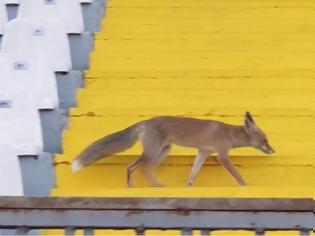 Φωτογραφία για Αλεπού… θεατής σε ελληνικό γήπεδο! φωτος