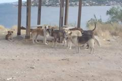 Παράτησαν στη Σαλαμίνα 4.000 σκυλιά που τους ήταν βάρος. Ο Δήμος ζητά βοήθεια