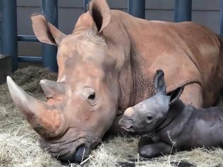 Φωτογραφία για Νέο «μωρό» στο Disney Animal Kingdom - Γεννήθηκε λευκός ρινόκερος (Φωτος)