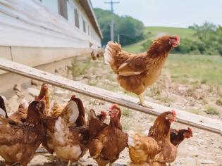 Φωτογραφία για Γρίπη των πτηνών: Στην σφαγή 200.000 πουλερικών προχωρούν στην Ολλανδία