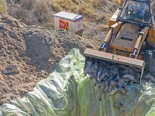 Φωτογραφία για Κοζάνη: Ξεκίνησε η θανάτωση 2.500 μινκ που βρέθηκαν θετικά στον κορωνοϊό