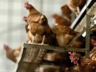 Φωτογραφία για Η Δανία θανατώνει 25.000 κοτόπουλα γιατί εντόπισε γρίπη των πτηνών