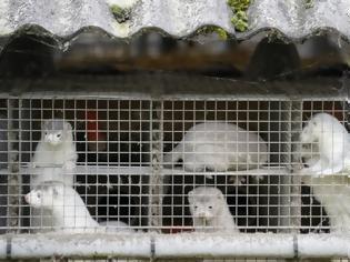Φωτογραφία για Ιρλανδία: Προς θανάτωση τα βιζόν εκτροφής λόγω μετάλλαξης του κορωνοϊού