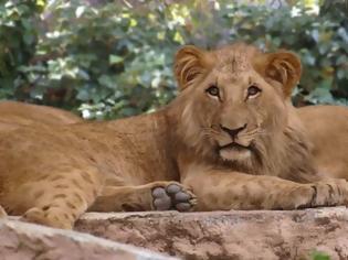 Φωτογραφία για Θετικά τέσσερα λιοντάρια σε ζωολογικό κήπο της Βαρκελώνης
