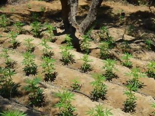 Φωτογραφία για Χανιά: Φυλακισμένος καλλιεργούσε δύο φυτείες με 1.310 χασισόδεντρα
