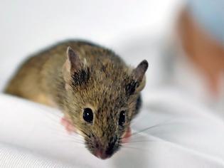 Φωτογραφία για Πείραμα που γεννά ελπίδες: Παράλυτα ποντίκια περπάτησαν ξανά χάρη σε νέα θεραπεία