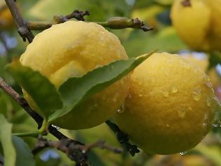 Φωτογραφία για «Σήκωσε» 200 κιλά λεμόνια από αγρόκτημα στην Κορινθία