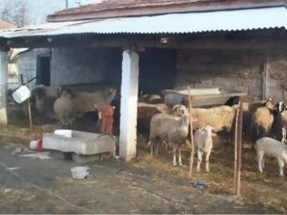 Φωτογραφία για Χίος:έκλεψε ζώα, τα θανάτωσε και πούλησε το κρέας!