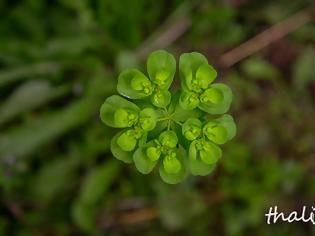 """Φωτογραφία για Euphorbia peplus, ο περίφημος """"πέπλος"""" του Διοσκουρίδη"""