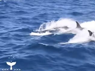 Φωτογραφία για Συγκλονιστική μάχη: 75 όρκες επιτίθονται σε μια μπλε φάλαινα(Video)